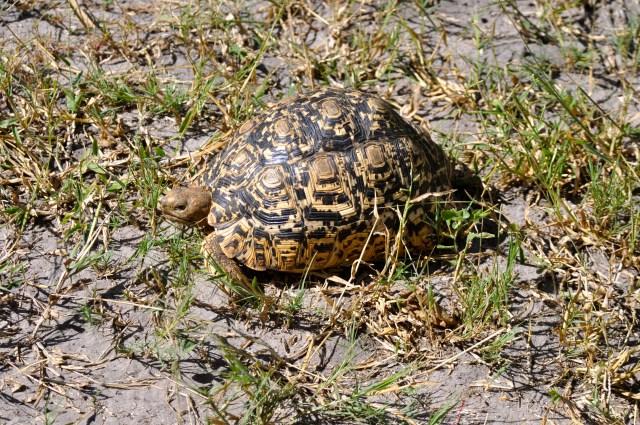 A tartaruga-leopardo