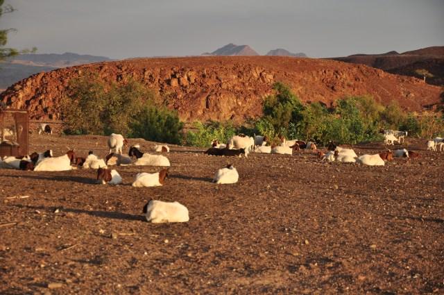 As cabras são criadas pelas comunidades em Damaraland.