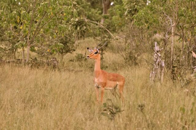 O alarme das Impalas