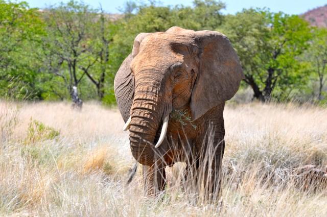 Os Elefantes do Deserto estão perfeitamente adaptados à essa região.