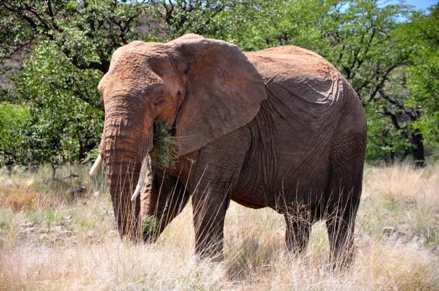 Os Elefantes do Deserto são mais preservacionistas
