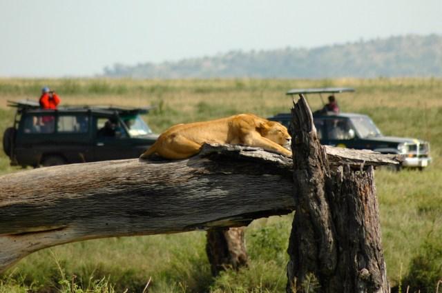 Uma bela leoa descansando na Savana.
