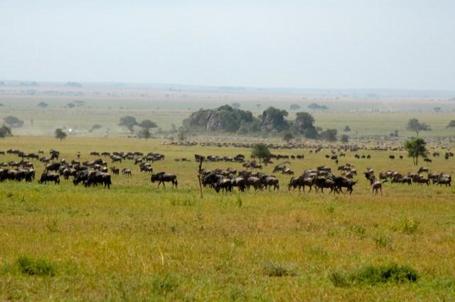Milhões de zebras e gnus na Planície do Serengeti.