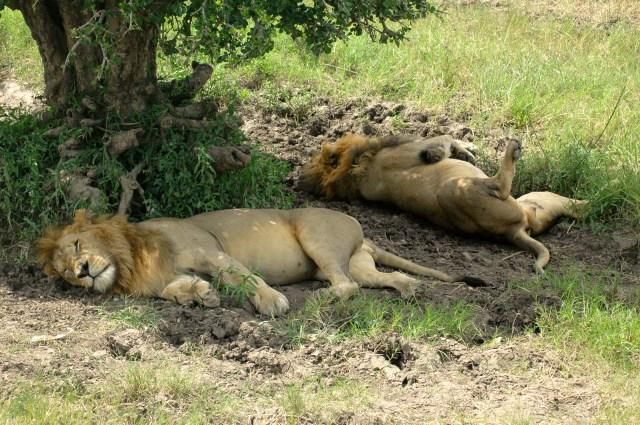 Os Leões deitaram e rolaram