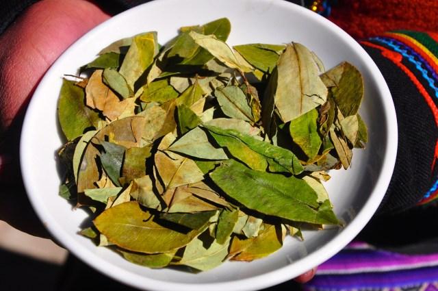 A folha de coca pode ser mascada ou usada como chá