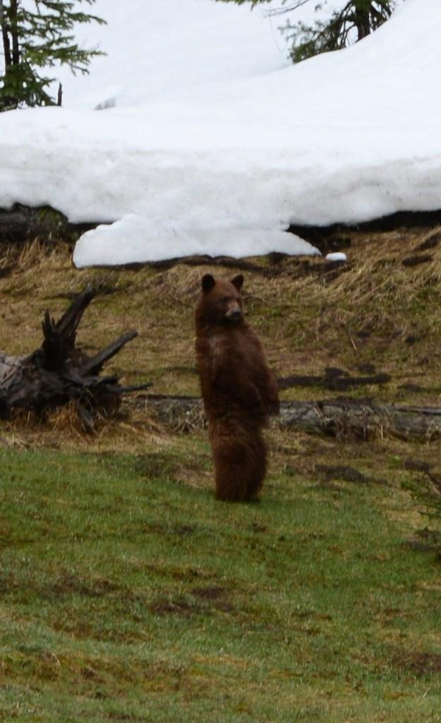 Os Ursos pardos estão presentes no Yellowstone.