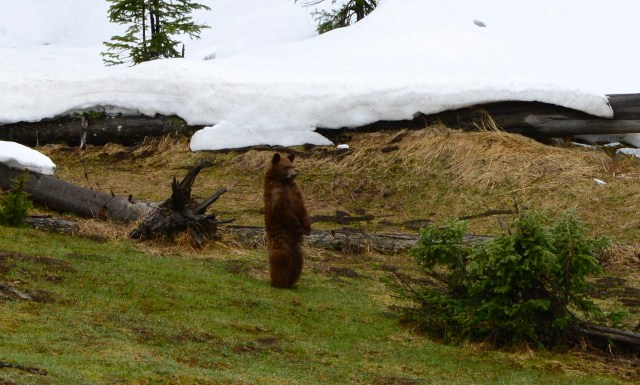 O Urso Pardo em pé lembra o Zé Colmeia.