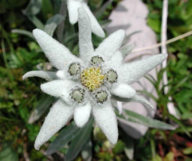 A Flor Edelweiss