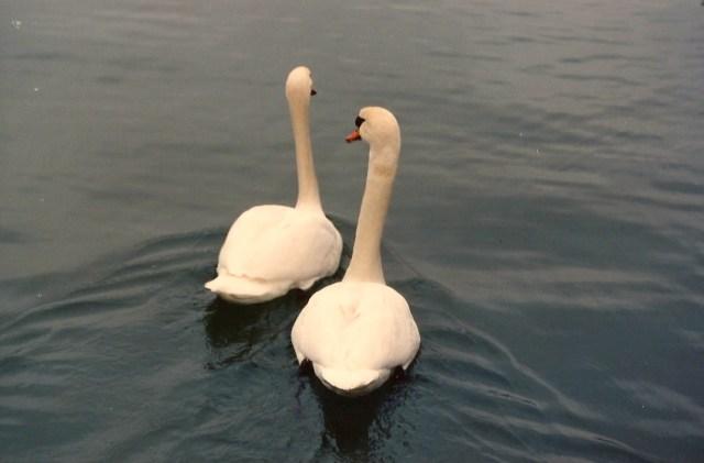 Cisnes no lago de Zurique.