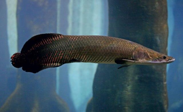 """Pirarucu - O """"bacalhau"""" da Amazônia"""