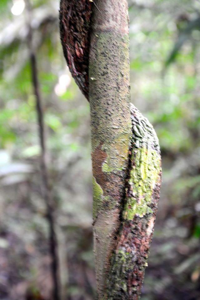 Cipós gigantes que envolvem árvores inteiras.