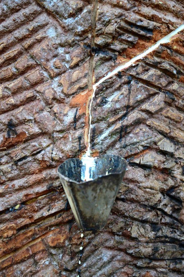 O látex é obtido a partir de cortes feitos no tronco da seringueira.