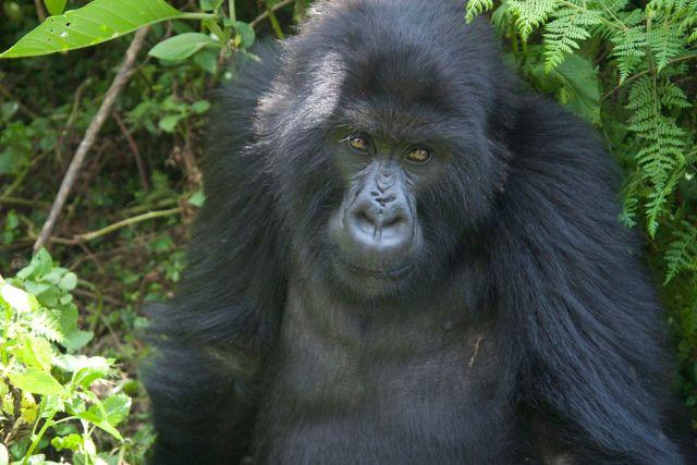 O primeiro gorila que encontramos.