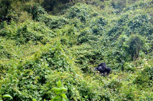 O gorila estava à nossa espera.