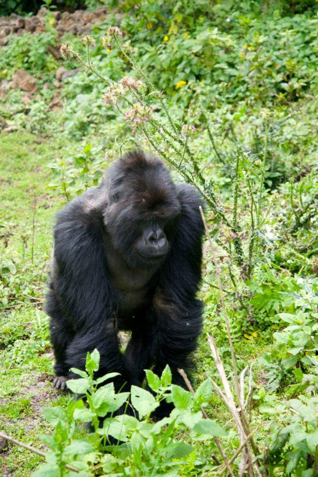 Os gorilas são os parentes vivos mais próximos do homem.