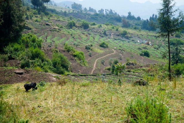 Alguns gorilas saem do Parque e ficam nas áreas agrícolas nos arredores.