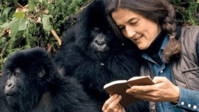 Dian Fossey interagindo com os gorilas-das-montanhas.