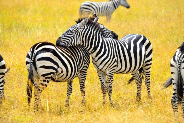 As zebras olhando para direções opostas.