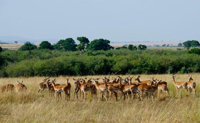 Um bando de impalas.