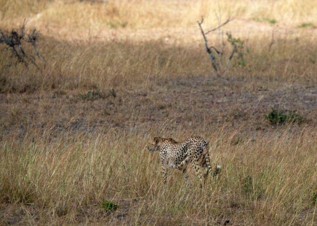 O guepardo desistiu da caçada.