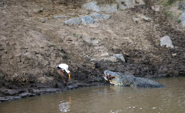 Flagramos o crocodilo-do-nilo comendo um gnu.
