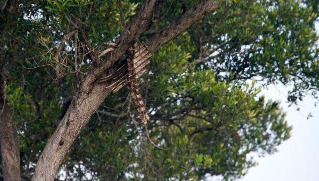 Carcaça de gnu no alto da árvore.