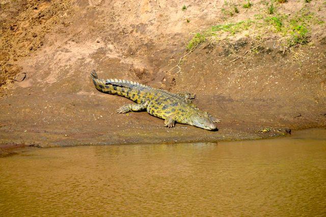 O crocodilo-do-nilo estava esperando os gnus.