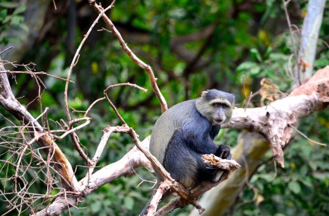 O macaco-do-peito-azul.