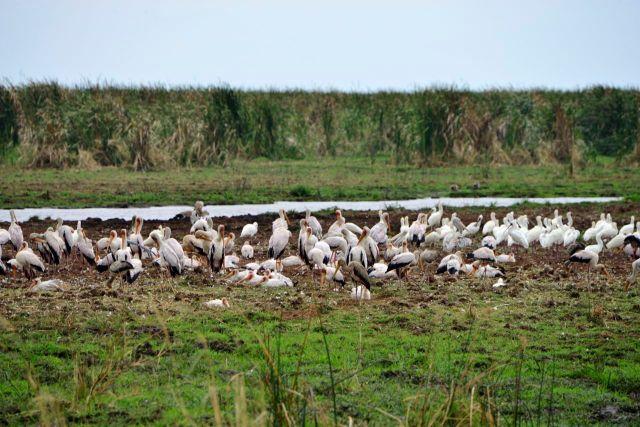 Os pelicanos na beira do Lago Manyara.