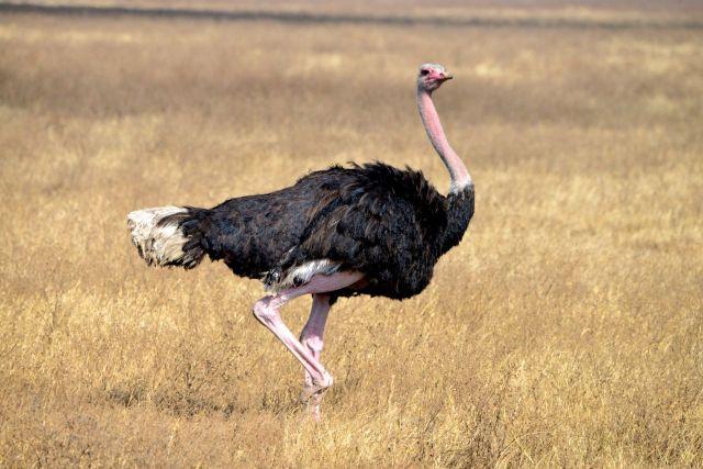 Avestruz no Ngorongoro.