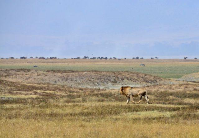 Os leões se afastaram quando perceberam a aproximação dos Masais.