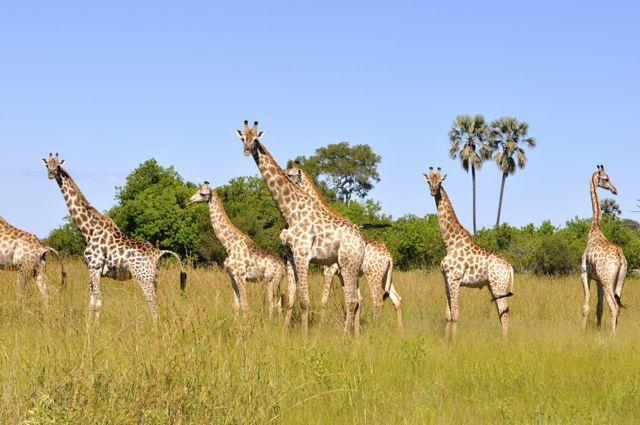 As girafas no Canal Savuti