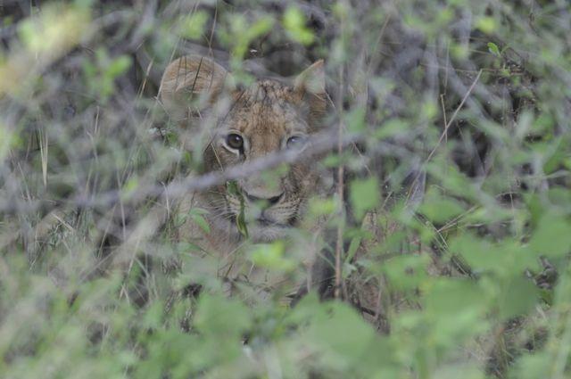 O filhote de leão camuflado.