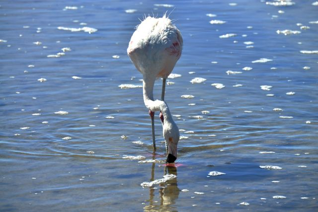 O Flamingo Chileno.