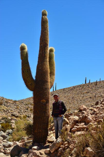 Cacto gigante do Atacama