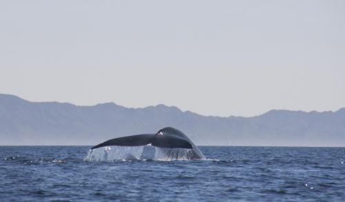 Baleine Bleue - Basse californie