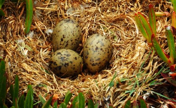 Зародыши птенцов общаются друг с другом через скорлупу яиц 11