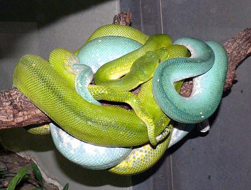 Зеленый питон (лат. Morelia viridis) 20