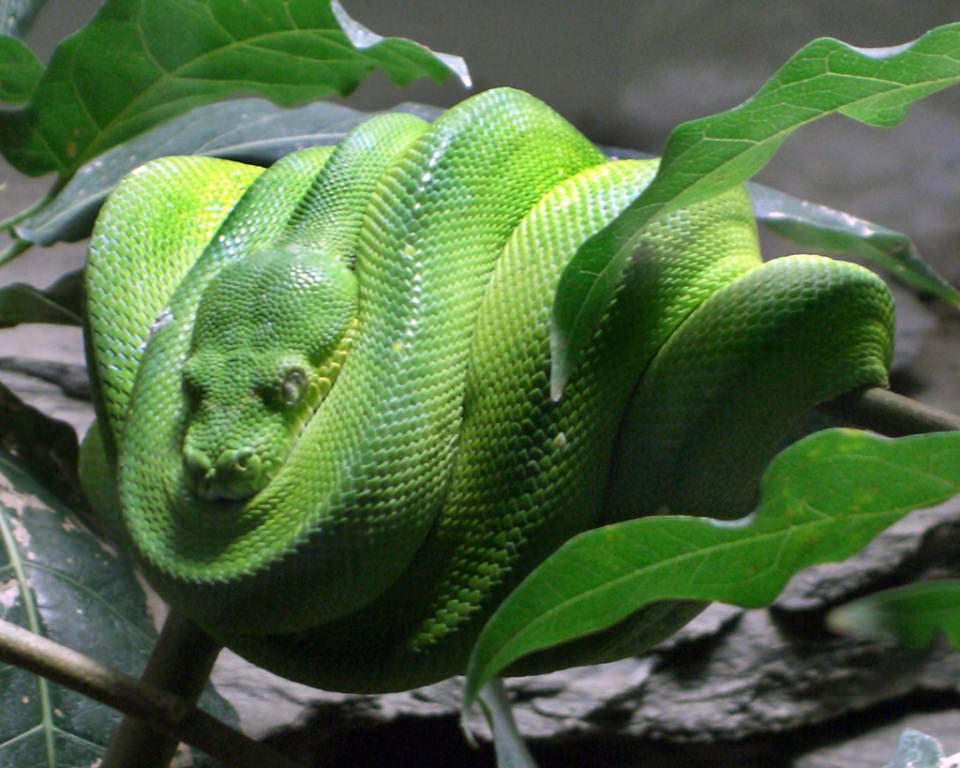 Зеленый питон (лат. Morelia viridis) 15