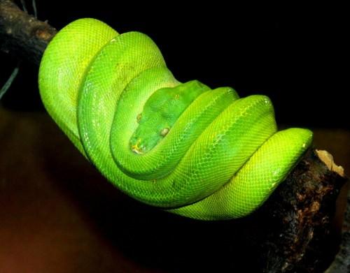 Зеленый питон (лат. Morelia viridis) 12