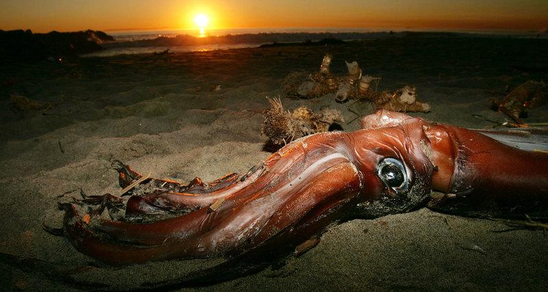 Расшифрован геном гигантского кальмара: новые загадки 1