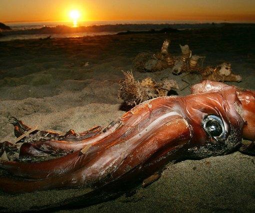 Расшифрован геном гигантского кальмара: новые загадки 9