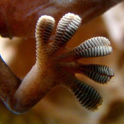 Физика в мире животного: лапа геккона 4