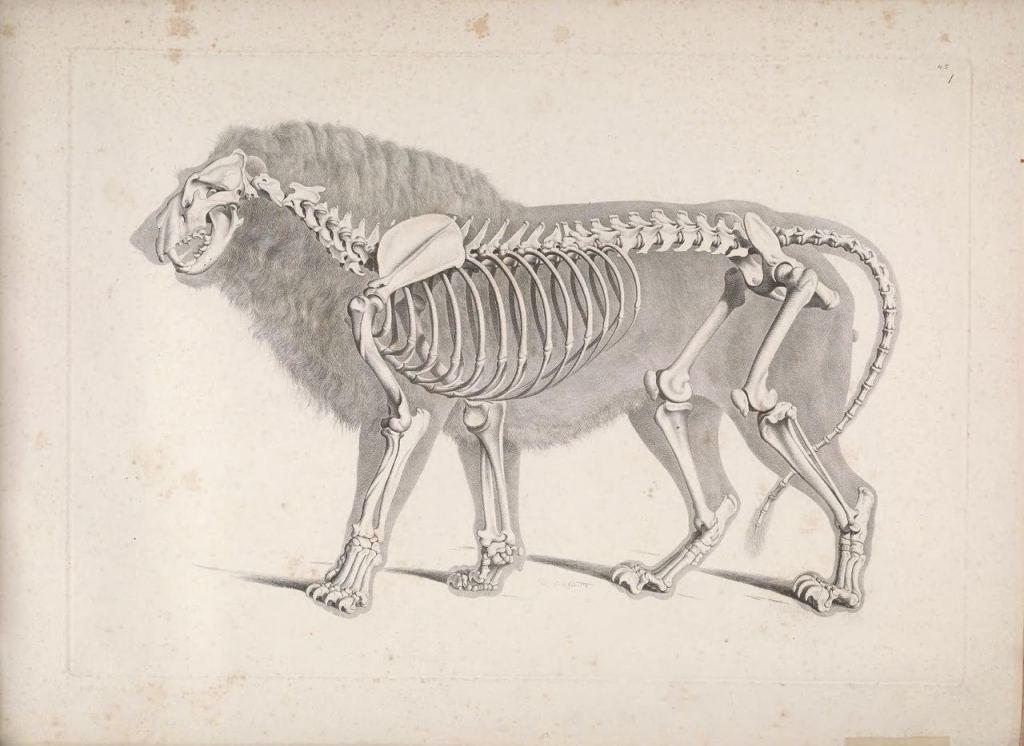 Иллюстрации скелетов животных Эдуарда Жозефа д'Альтона (1821–1838) 3