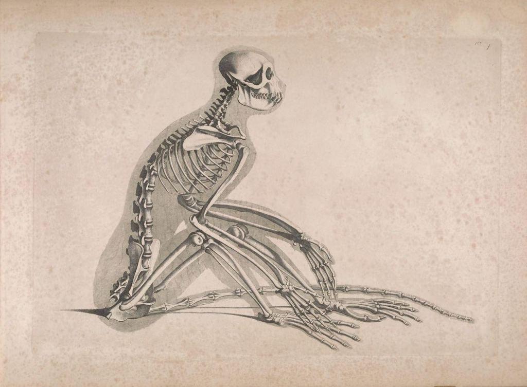 Иллюстрации скелетов животных Эдуарда Жозефа д'Альтона (1821–1838) 7