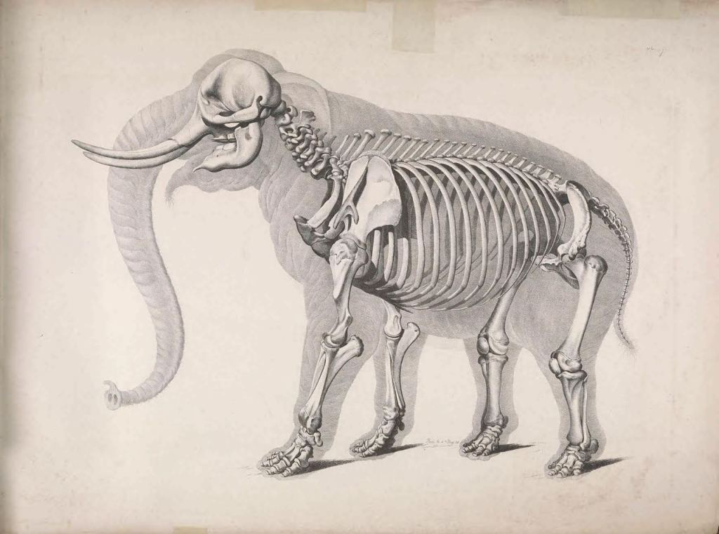 Иллюстрации скелетов животных Эдуарда Жозефа д'Альтона (1821–1838) 4