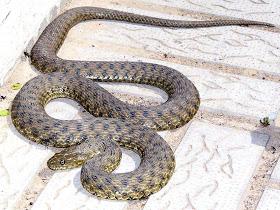 Змеи, ядовитые и целительные 4