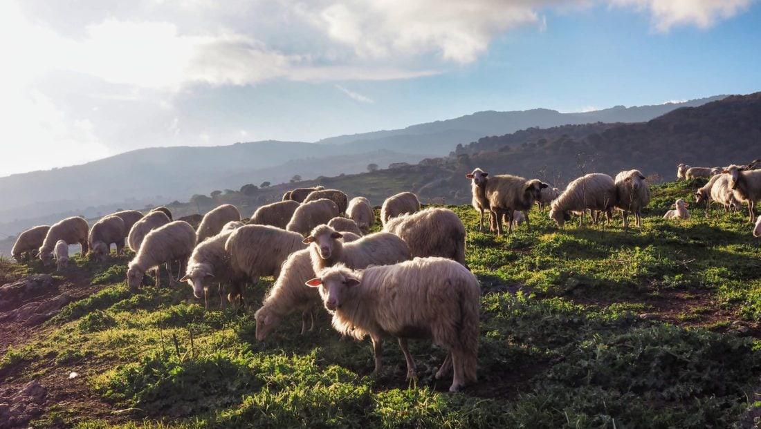 Moutons Sardaigne