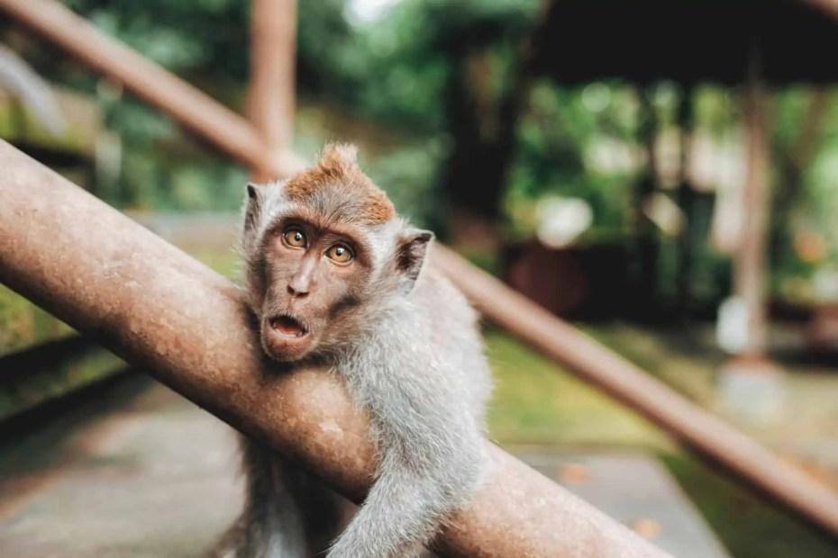 Singes Bali
