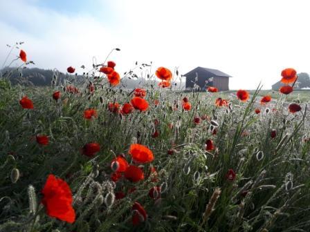 Landwirtschaft Mohnblumen an einem Feldrand als Insektenmagnet